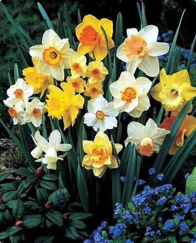 60 Days of Daffodils Mix - 50 Bulbs!! A Random, Colorful Mix of Daffodils! by Daylily Nursery