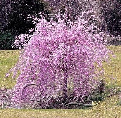 5-25 Semillas del cerezo enano de jardín de DIY del árbol, todo el mundo lo quiere: Amazon.es: Jardín