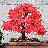 100 True Japanese Red Maple Tree Seeds Garden Bonsai Beautiful Indoor Potting Plant 30 Seeds pack Bonsai