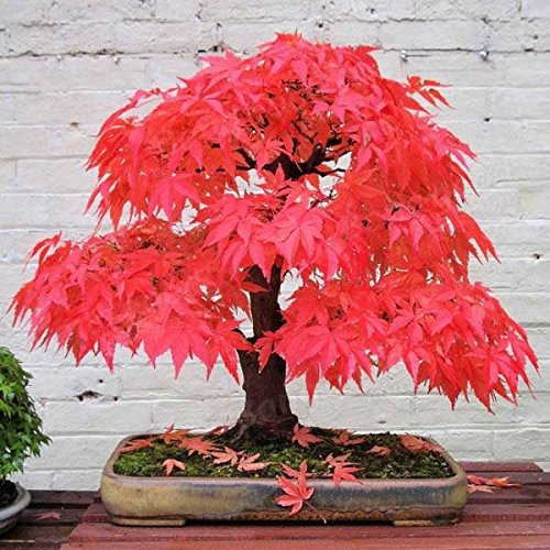 100% True Japanese Red Maple Tree Seeds Garden Bonsai Beautiful Indoor Potting Plant 30 Seeds pack (Japanese Bonsai)