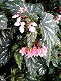 Begonia Superba Angel Wing 'Lana' House Plant
