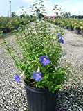 PlantVine Thunbergia erecta, King's Mantle - Large - 8-10 Inch Pot (3 Gallon), Live Plant, 4 Pack