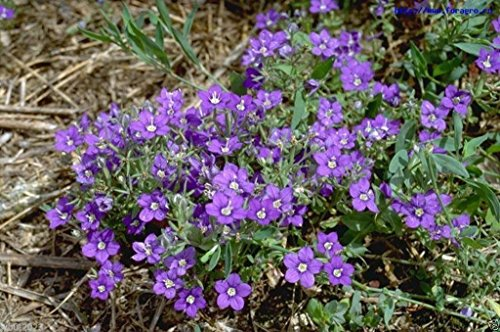 500 Seeds,Venus's Looking Glass (Legousia Pentagonia) Excellent ground cover - To Directions Pentagon