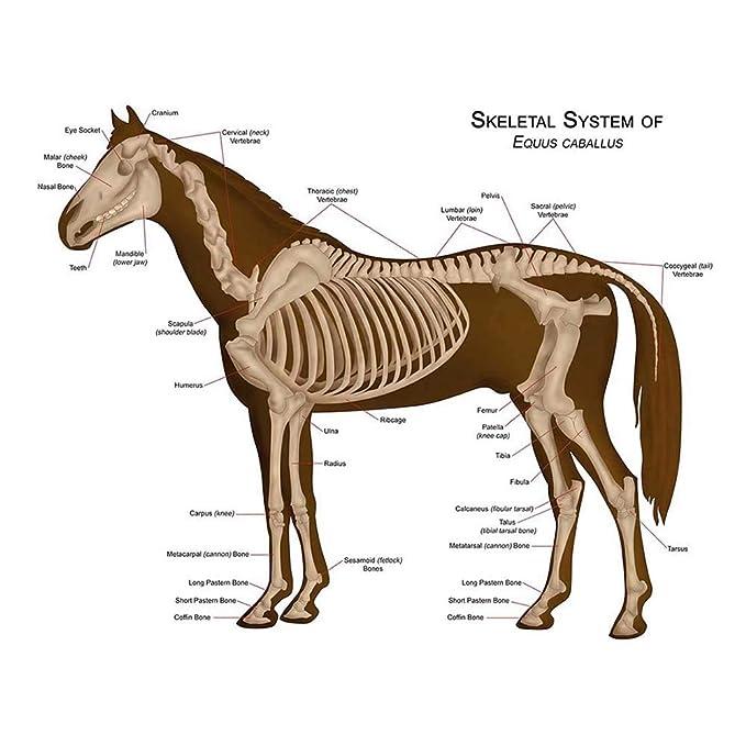 Amazon Wee Blue Coo Animals Skeleton Bones Horse Anatomy