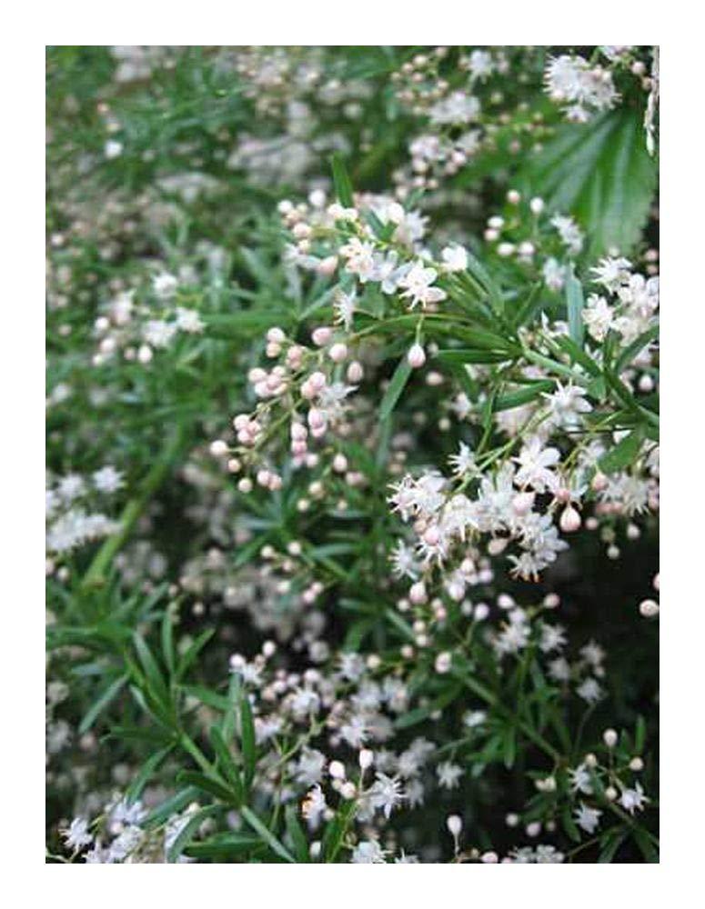 Asparagus densiflorus Sprengeri - Asparagus fern - 5 seeds Exotic Plants