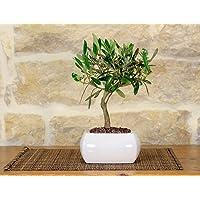 Olive Bonsai en un jarrón cuadrado blanco cm.