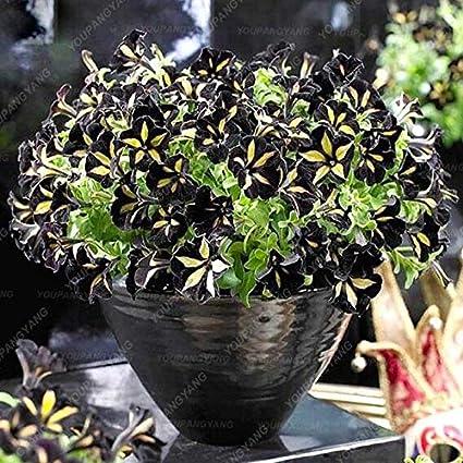 Amazon.com: 100pcs Rara Petunia Plantas Hermosas Arco Iris ...