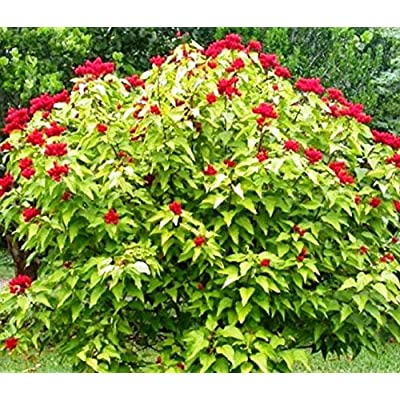 Cheap Fresh Tree Seeds Bixa Orellana Lipstick Get 10 Seeds Easy Grow #GRG01YN : Garden & Outdoor