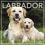 Labrador Retrievers Wall Calendar (2018)