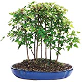 Brussel's Live Trident Maple Forest 7 Tree Outdoor Bonsai Tree - 3 Years Old; 8'' to 14'' Tall with Decorative Container