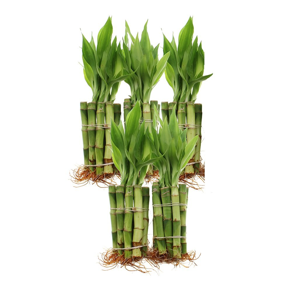 Live Lucky Bamboo 4-Inch Bundle of 50 Stalks - Live Indoor Plants for Home Decor, Arts & Crafts, and Feng Shui by NW Wholesaler