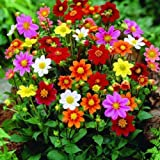 2 Dahlia Humpty Dumpty Mix Color Flower Bulb Perennial Summer Blooming