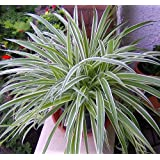 """Reverse Variegated Spider Plant - Easy to Grow - Cleans the Air - 4""""ceramic Pot color red from jmbamboo"""