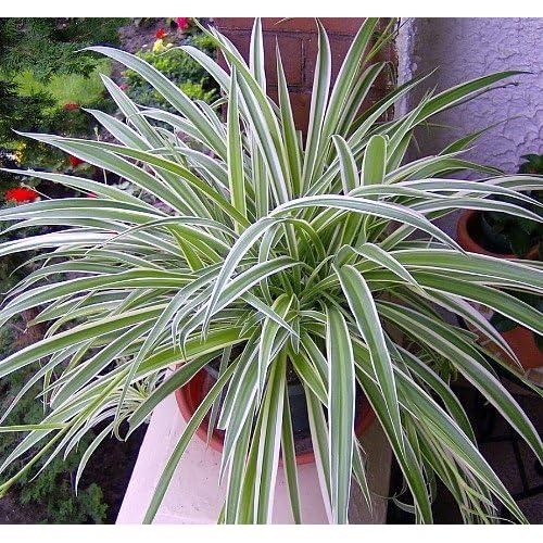Growing Spider Plants Indoors: Spider Plant Indoor: Amazon.com
