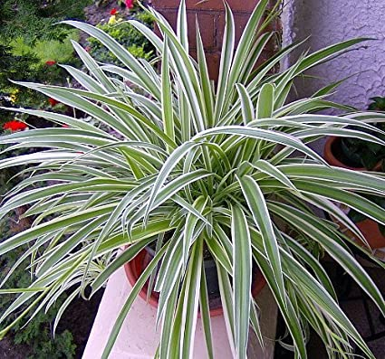 Reverse Variegated Spider Plant - Easy to Grow - Cleans the Air - 4