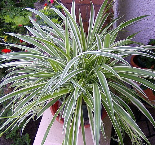 Houseplants for toddlers spider plant