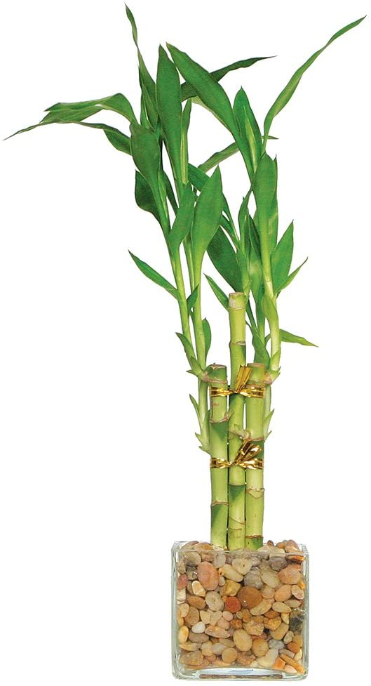 "Brussel's Live Lucky Indoor Bamboo - 5 Stalk Straight - 3 Years Old; 4"" to 6"" Tall with Decorative Container"