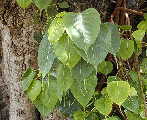 Ficus religiosa BO TREE Exotic Seeds!