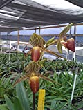 Paph. rothschildianum ('Green Valley' x 'Dou Fong') Award Potential Orchid plant
