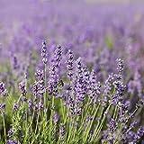 Common English Lavender Flower Garden Seeds - 4 Oz - Perennial Herb Gardening Seeds - Lavandula angustifolia