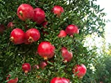Wonderful Pomegranate Live Rooted Potted Pollinated Ready Fruit Plant 5-8 inch Tall Granada Easy to Grow Ready for Planting (3 Plant Pack)