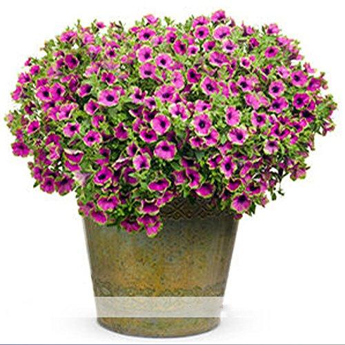 Cheap (Picasso Petunia *Ambizu*) Rare Picasso Petunia Flower Seeds, Professional Pack, 100 Seeds