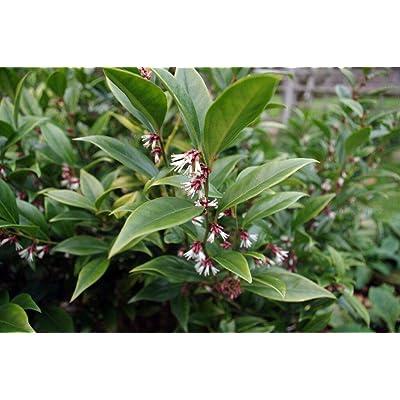 Toyensnow - Sarcococca orientalis Sweet Box Shrub (1 Plant) : Garden & Outdoor