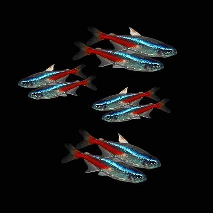 Amazon Com 8 Exotic Baby Neon Tetras Live Tropical Fish Tetra