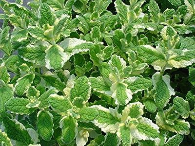 Pineapple Mint * 1000 Seeds * Rare * Herb * Medicinal * Aroma *