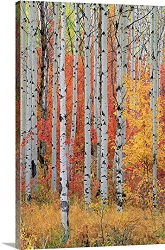 Canvas On Demand Premium Thick Wrap Canvas Wall Art Print Entitled A Forest Of Aspen And Maple Trees In The Wasatch Mountains  Utah