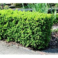 Japanese Boxwood Bush (buxus) - Live Plant - Trade Gallon Pot