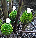 Tennis Ball Spiral Ginger Costus dubius - Rhizome tropical African plant flower