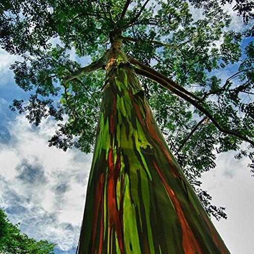 WuWxiuzhzhuo - 50 Semillas de eucalipto de Arcoíris Hawaii para Plantar Jardín, árbol de Decoración Fácil de Cultivar: Amazon.es: Hogar