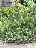 Pinus mugo mughus MUGO PINE TREE Seeds!