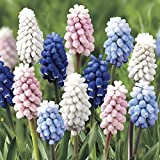 Grape Hyacinth Mix 20 Bulbs Color Festival - Muscari - 8/9 cm Bulbs