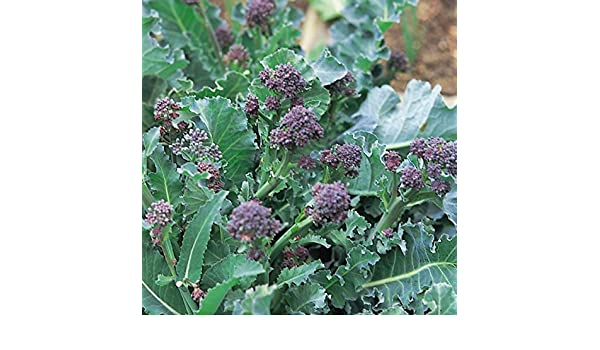 Broccoli Purple Sprouting Early 750 Seeds Kings Seeds