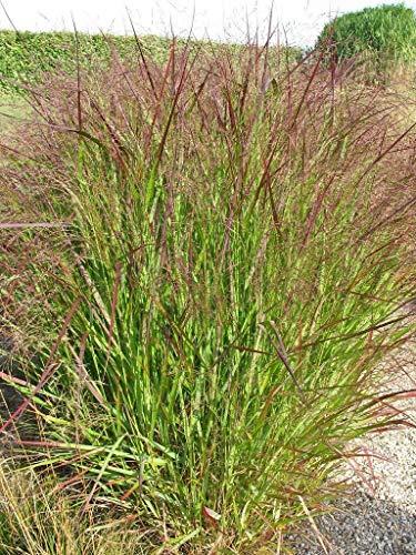 HOT!! - 1000 SWITCHGRASS Tall Panic Switch Grass Panicum Virgatum Red Flower Seeds