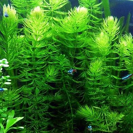 Hornwort Planted