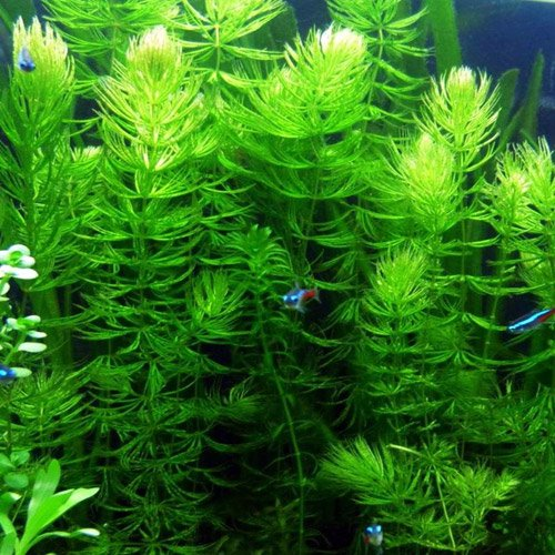 Pond Oxygenating Hornwort Bunch Plants (Tips For Planting Grass Seed In Summer)