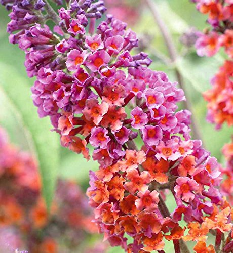 Hardy Butterfly Bush - Spectacular Flowering, Bi-Color Buddleia-Butterfly Bush, Potted Starter Plant