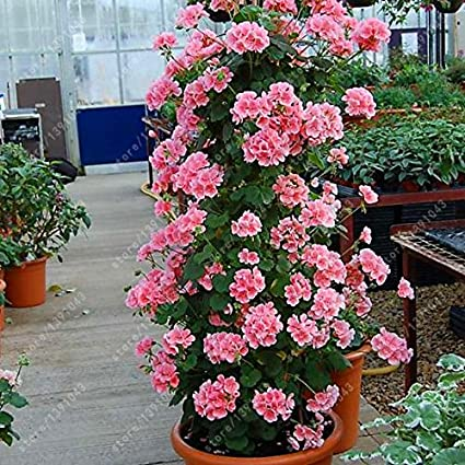 courtyard /& 100 pcs//bag bonsai climbing geranium seed rare potted flower seeds