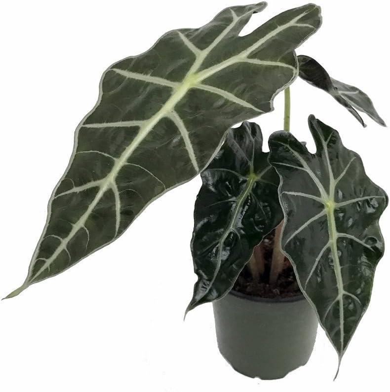 """Alocasia Polly 4"""" Inch Plant"""