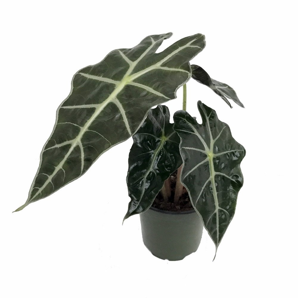 Amazon Black Shield Plant - Alocasia Polly - Live Houseplant - Clean Air! by Florida Foliage (Image #1)