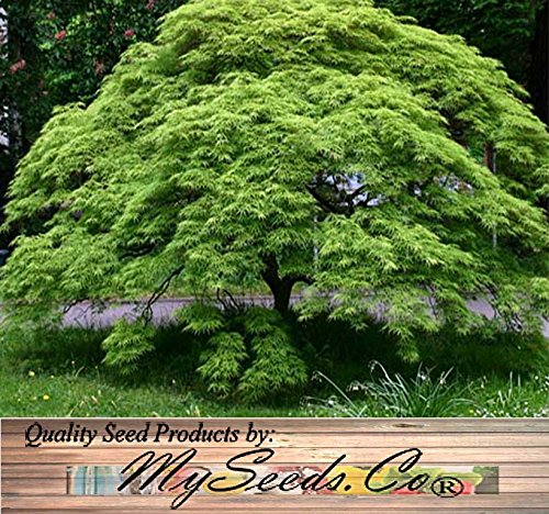 WATERFALL JAPANESE MAPLE - Acer palmatum WATERFALL - Tree Seeds from Flora Power by Red Pine, Inc.