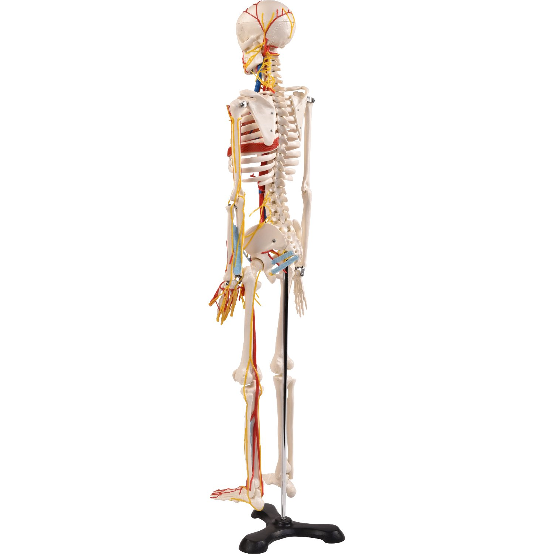 """Anatomie Modell """"Menschliches Skelett"""" mit Nerven,mittel, ca. 85 cm ..."""