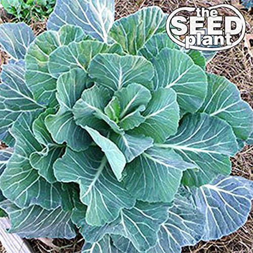 Georgia Southern Collard Green Seeds - 500 SEEDS ()