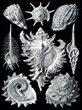 NATURE ART ERNST HAECKEL SHELL WHELK BIOLOGY GERMANY VINTAGE POSTER PRINT 12x16 inch 30x40cm 873PY