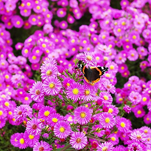 Michaelmas Daisy, New England Aster seeds - Aster ()