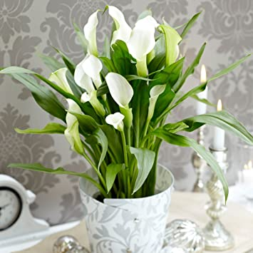Calla Lily Potted House Plant Arum Lily Zantedeschia White Easy