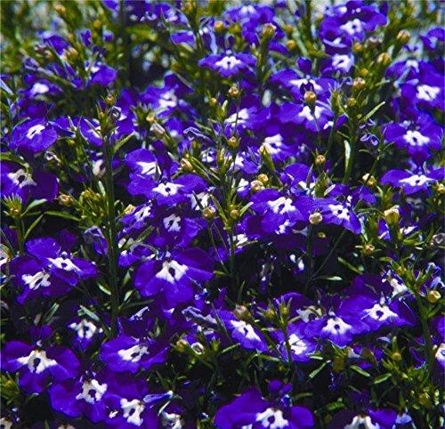 Lobelia Seeds Coat Of Arms Blue White Trailing Lobelia 50 Multi pelleted Seeds